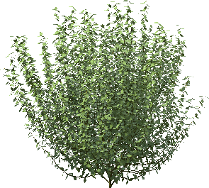 Prop Ligustrum vulgare 0.9 S RT Color.png