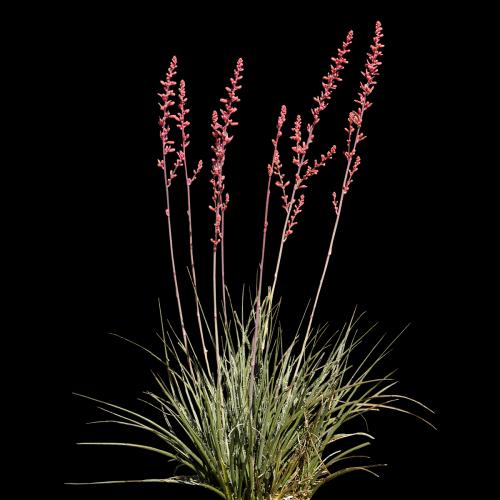 Hesperaloe parviflora-1 Prop Texture Color.png